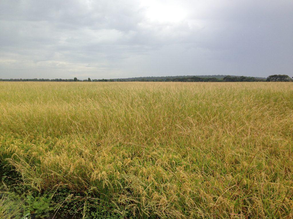 organic koshi rice fields