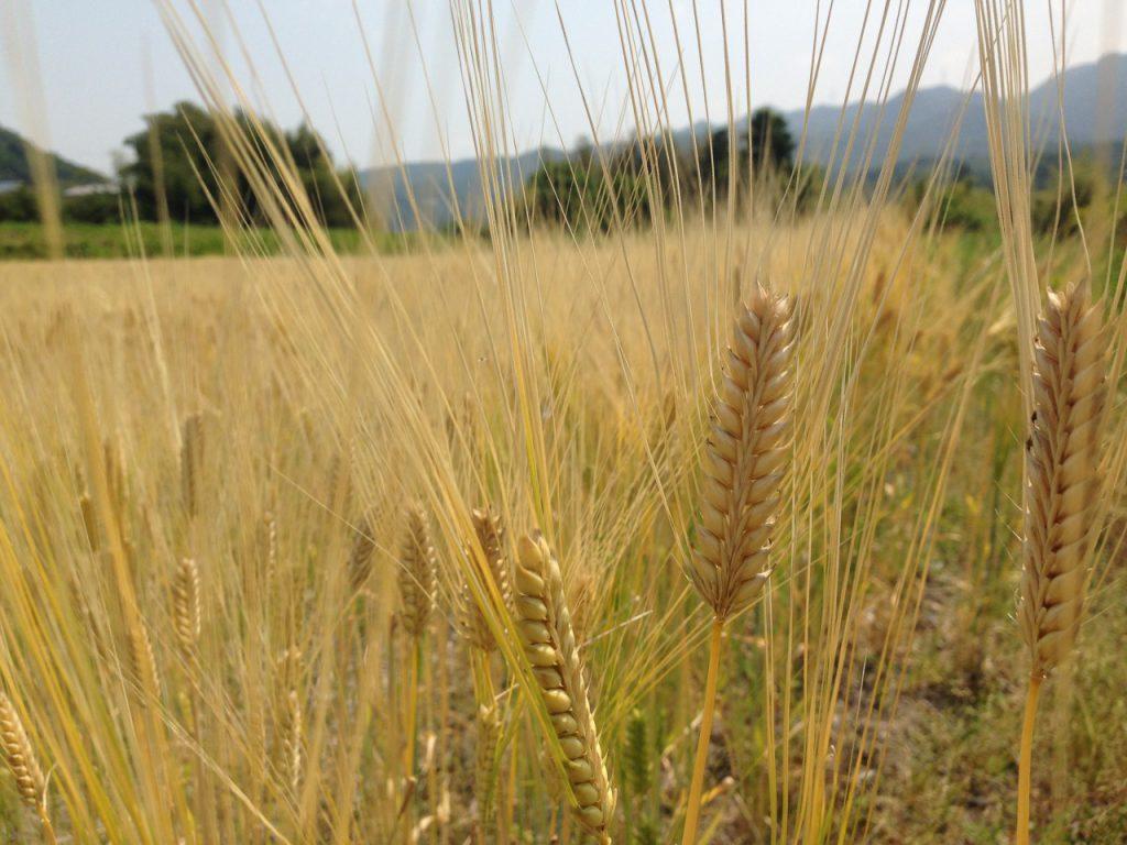 二条大麦2016