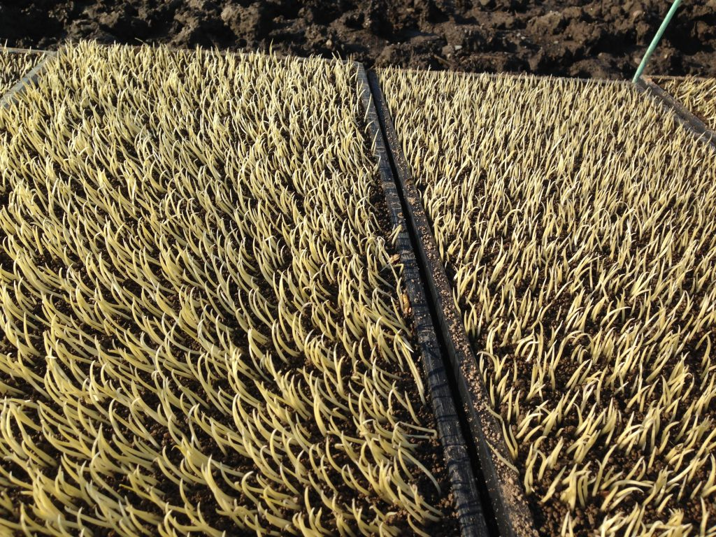 発芽した米を田んぼに