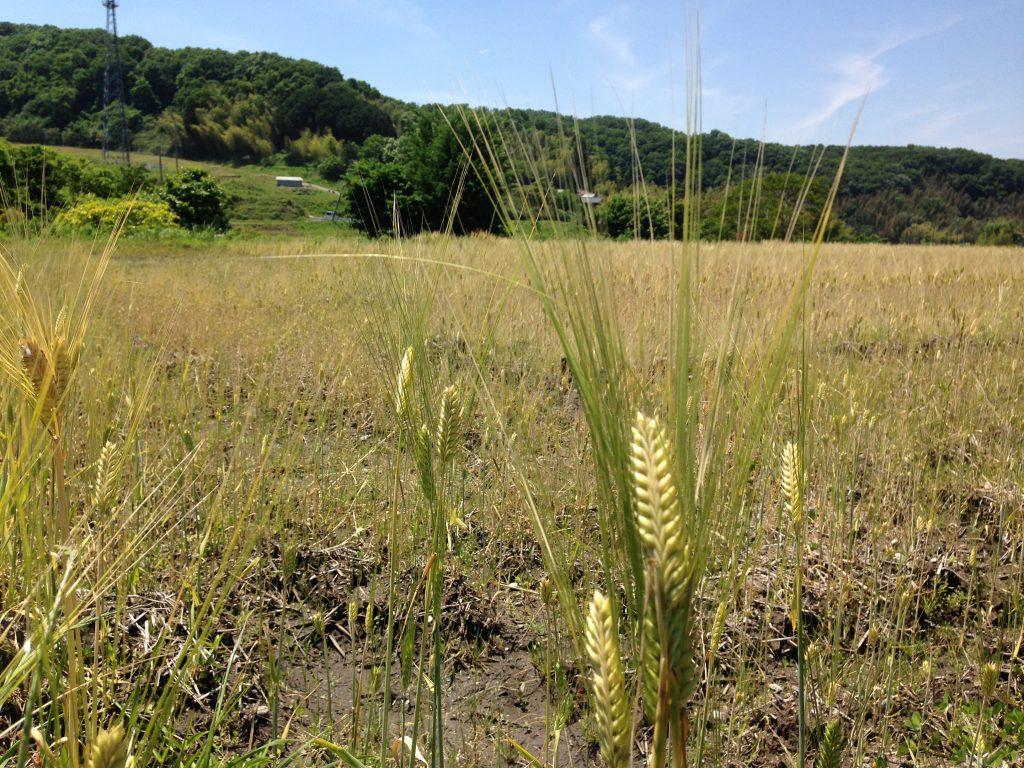収穫間近大麦