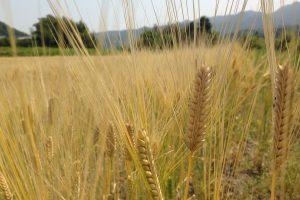 綺麗な大麦