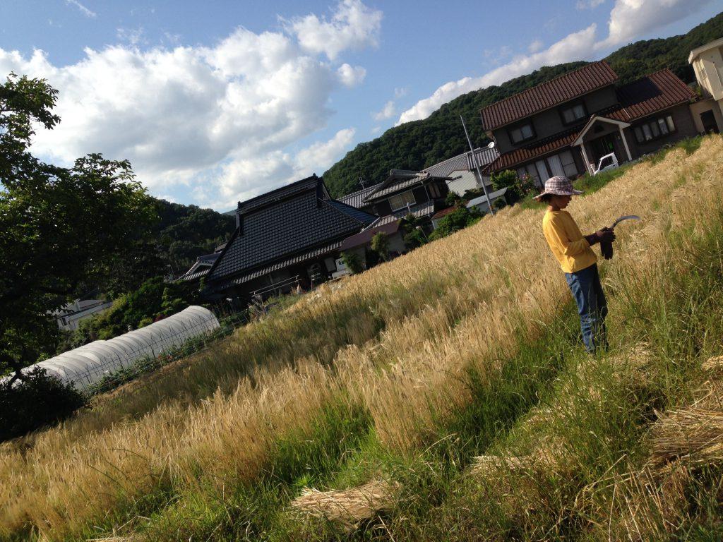 大麦手刈り