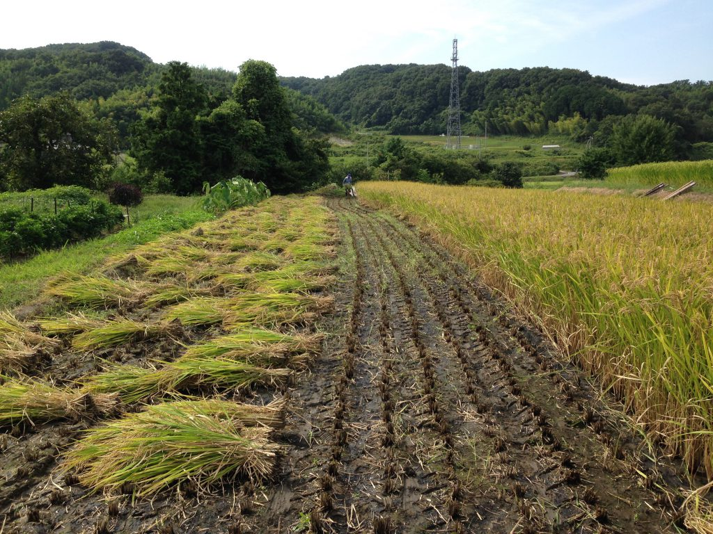 黒米稲刈り