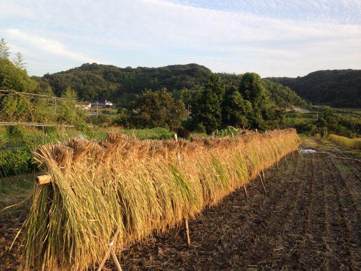黒米をバインダーで収穫し、稲木...