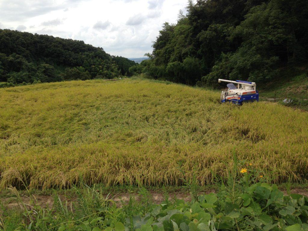 山稲刈り2