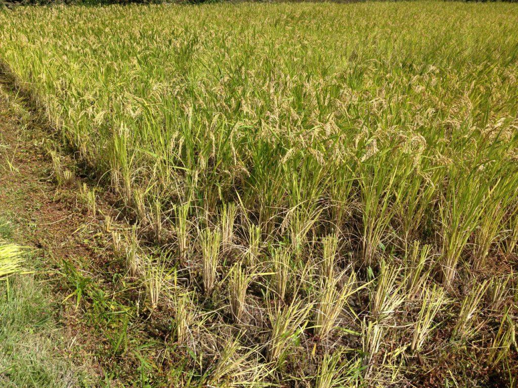 稲の高刈り