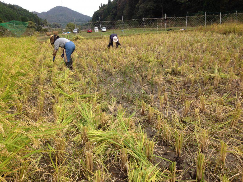 稲の高刈り風景