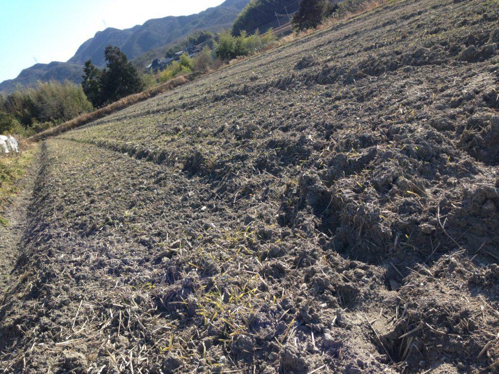 2016年1月末の麦2
