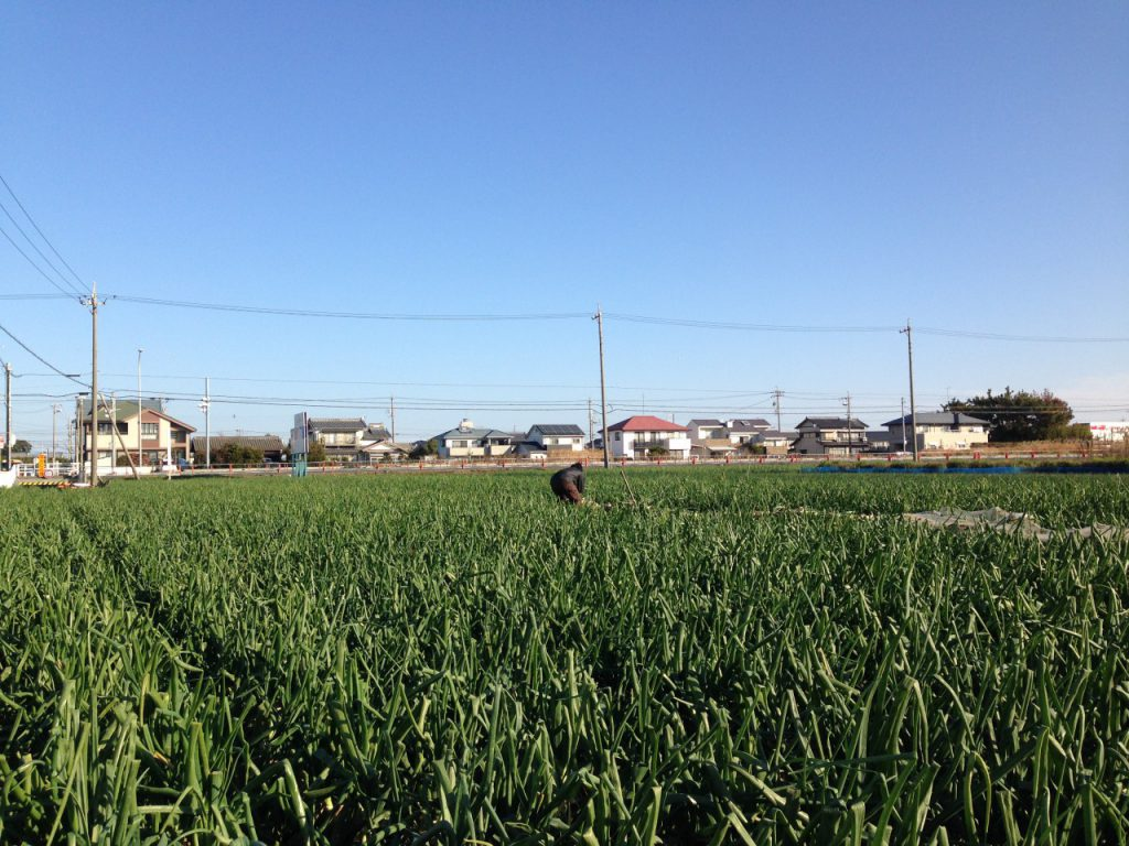 静岡県浜松市の玉ねぎ畑です