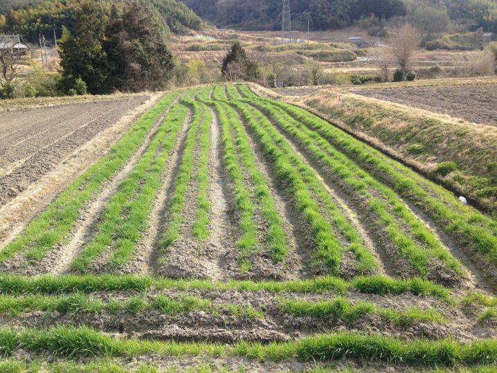 二条大麦3月