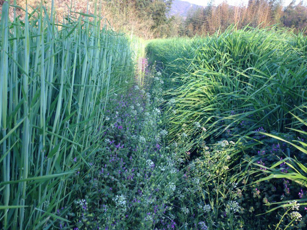 成長著しい二条大麦