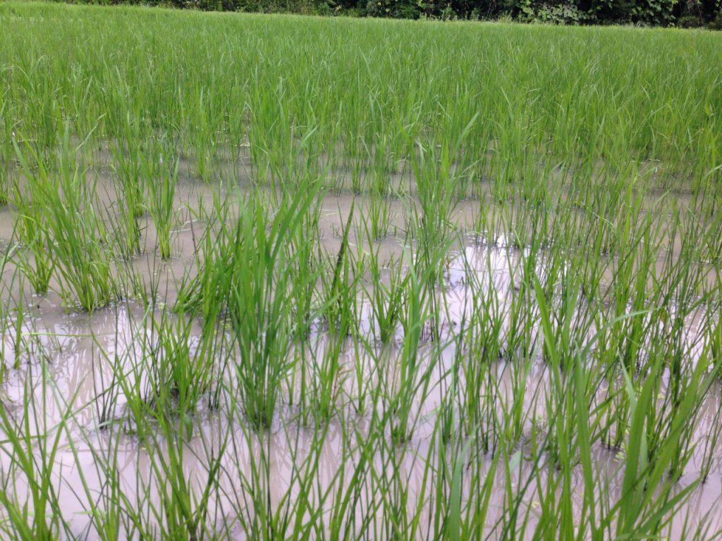 無農薬米つくり7月