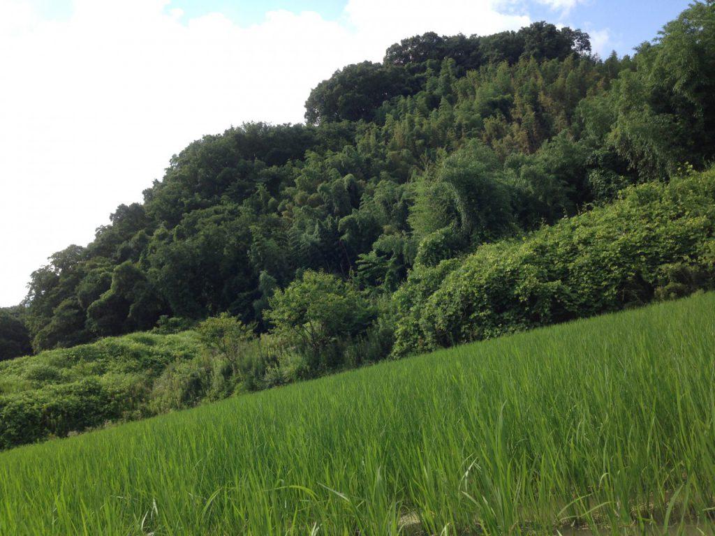 田んぼの目の前の山