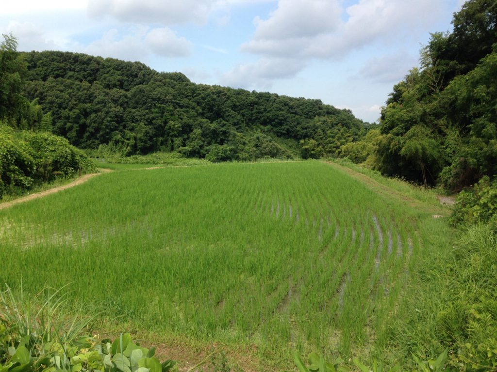 有機栽培農林22号