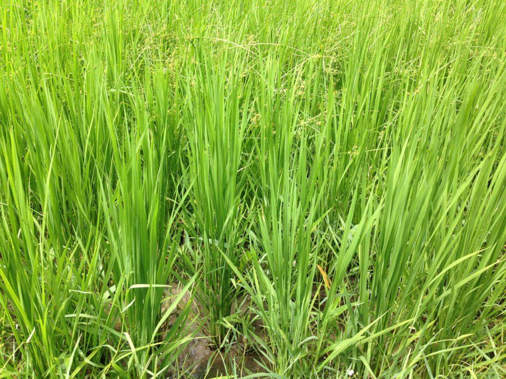 稲はしっかりと育っています!