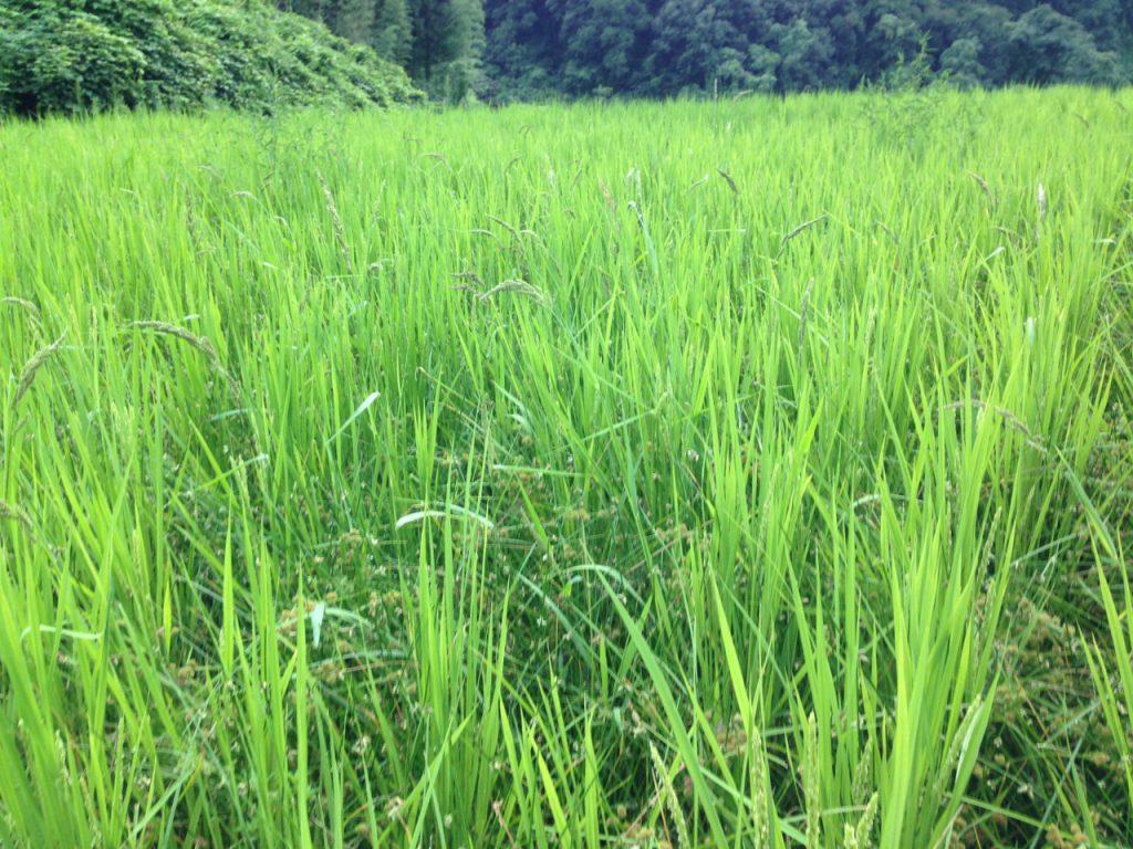 農林22号田んぼの草