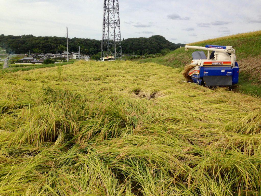 コシヒカリの田んぼ