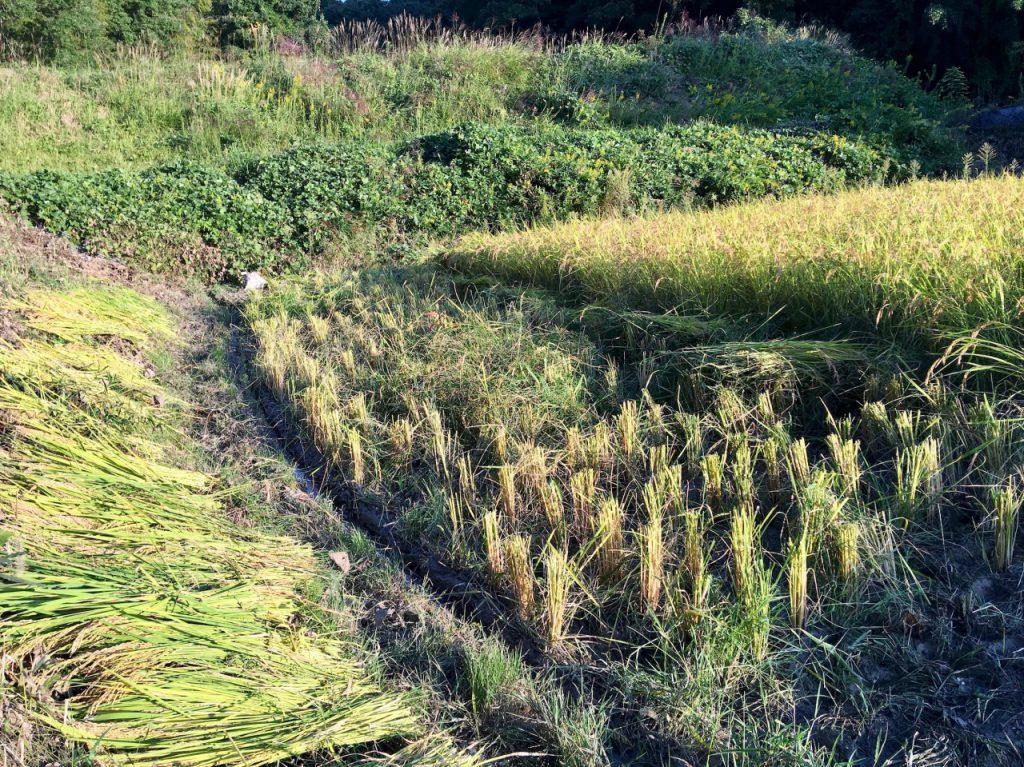 農林22号高刈り