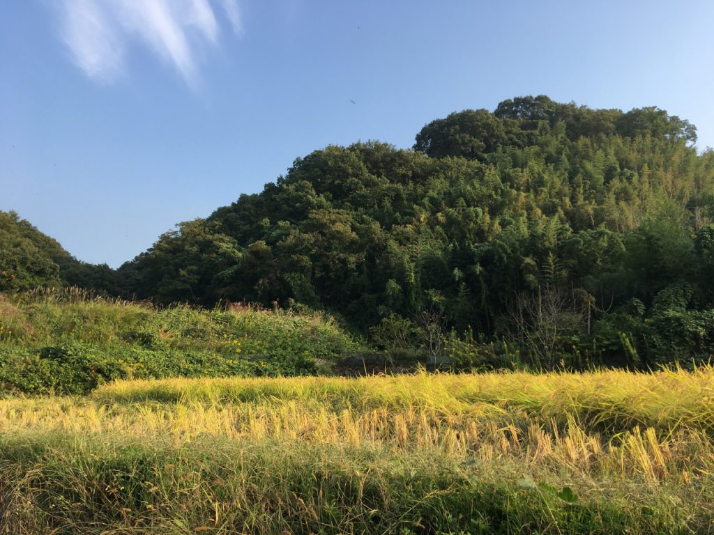 農林22号稲刈り