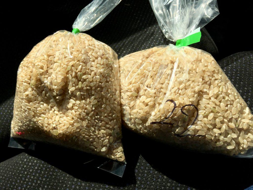 農林22号とコシヒカリの玄米