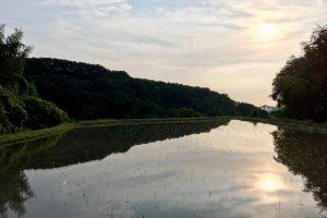 農林22号水田