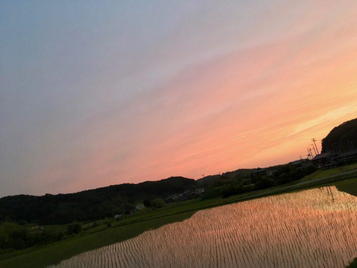 山田錦田んぼと夕焼け