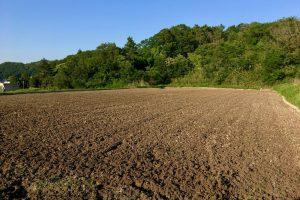 農林22号の田んぼ