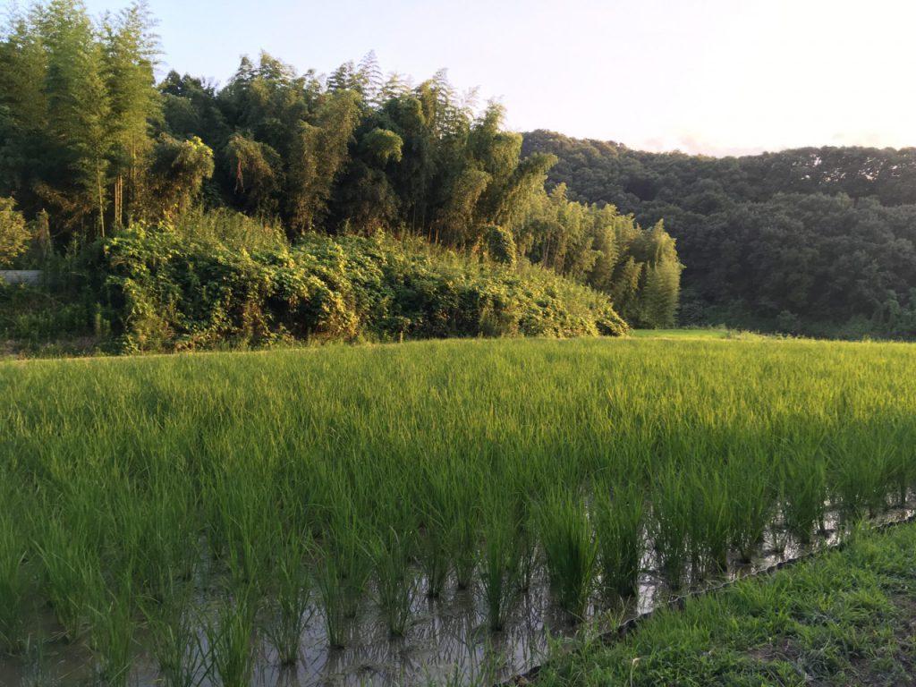 農林22号山の田んぼ