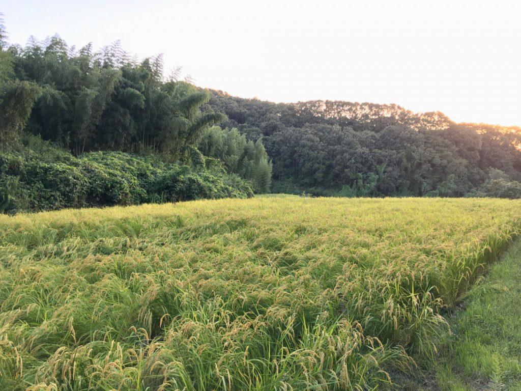 農林22号稲刈り間近