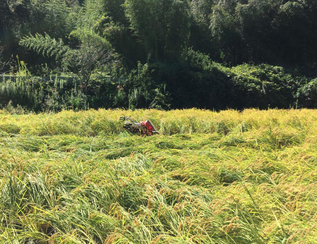 農林22号稲刈りバインダーで