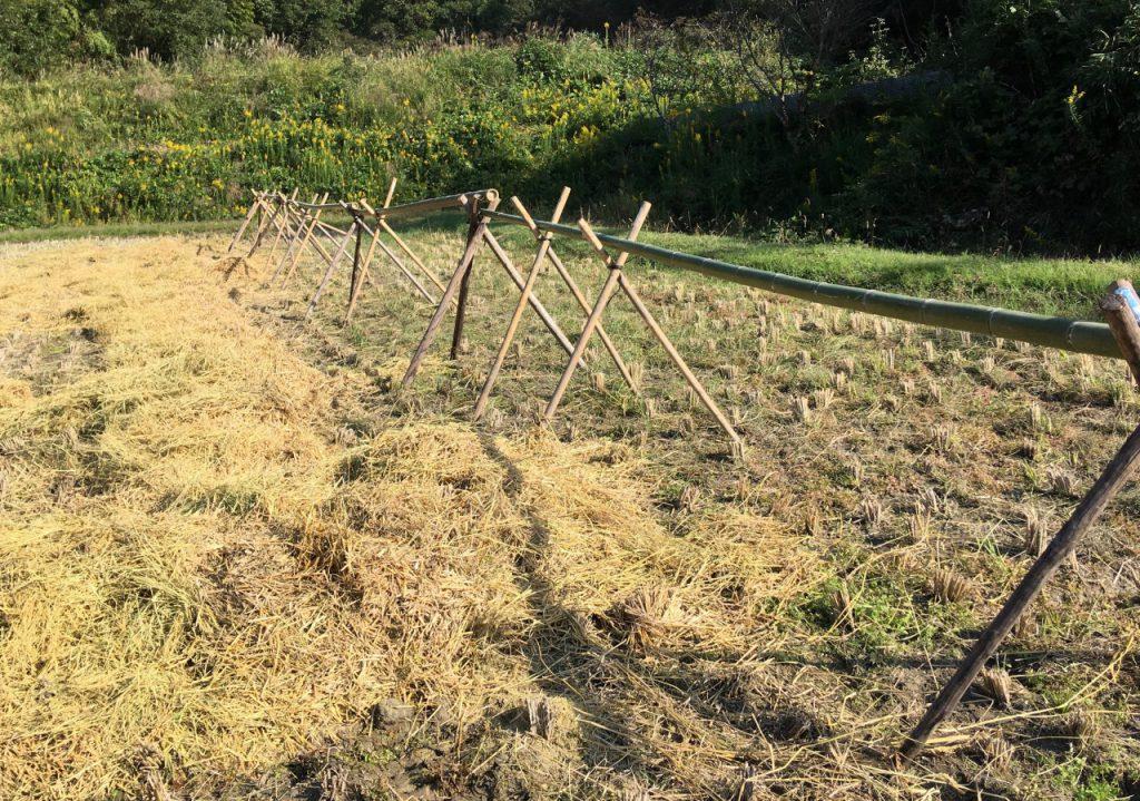 農林22号収穫