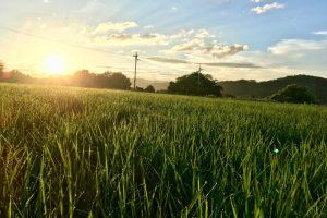 無農薬栽培米つくり