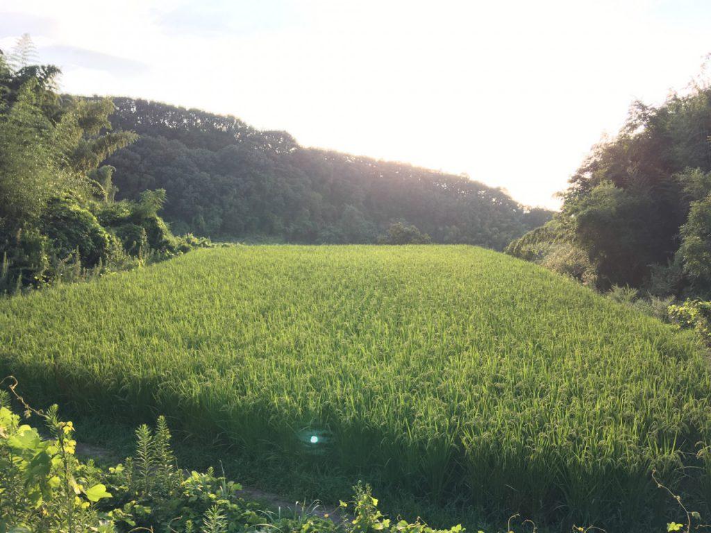 農林22号