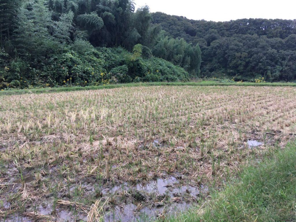 農林22号田んぼ