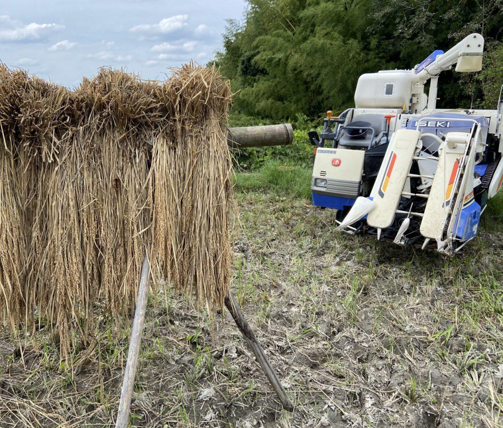 コシヒカリ天日干し収穫