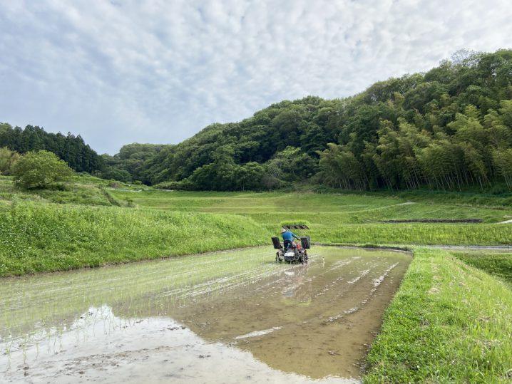 農林22号田植え