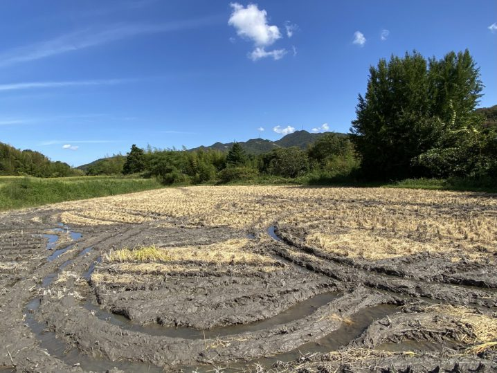 農林22号田んぼ 稲刈り後